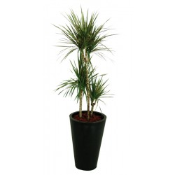Kentia en pot